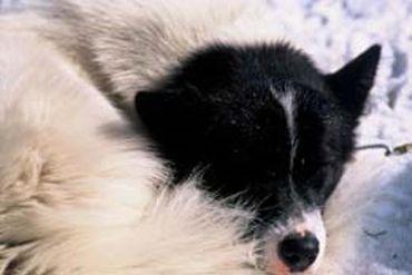 le chien esquimau version black&white