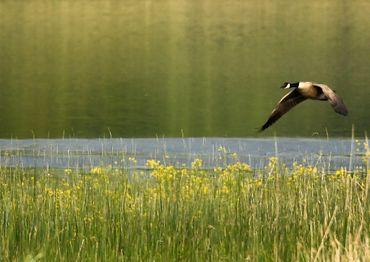 Bernache du Canada de très belles observations sur le lac de la Madine