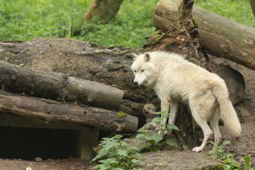 Han-sur-Lesse: le bébé loup arctique a fait ses premiers pas