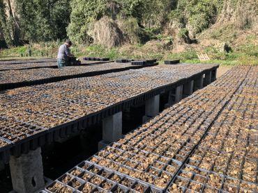 Des pépinières, comme ici celle du DNF, sélectionnent et préparent les plants d'arbres qui seront repiqués en forêt