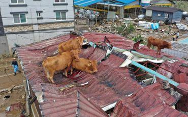 Vaches sur un toit en Corée du Sud