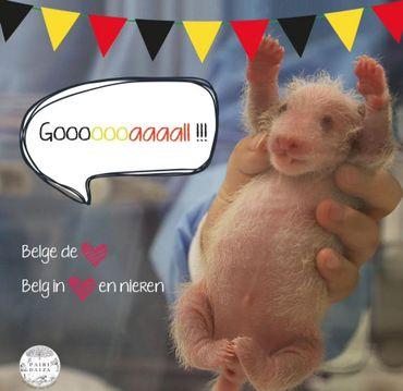 Le 18 juin, sur Facebook, Pairi Daiza a publié sur Facebook une photo du bébé panda en supporter des Diables.