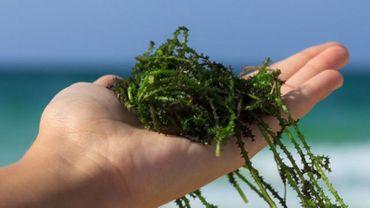 La salicorne ou le haricot des mers : Elle ressemble à une algue mais n'en est pas une ! Photo :Iode - ©