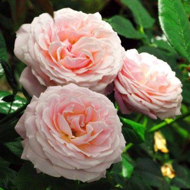 Planter un rosier. Et si vous commenciez aujourd'hui ?