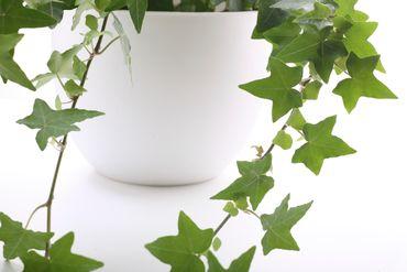 Houseplant - Ivy Close-up