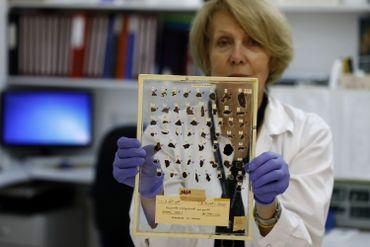 Tatyana Bitler, conservatrice à l'Autorité israélienne des Antiquités, montre des fragments de manuscrits de la mer Morte, dans un laboratoire à Jérusalem, le 2 juin 2020