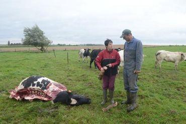 Vache massacrée