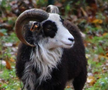La flemme de sortir la tondeuse...Et si les moutons s'en chargeaient?