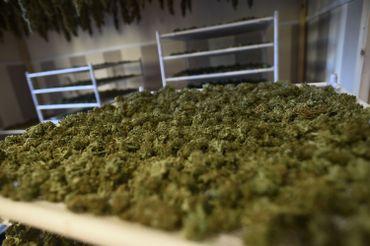 A la frontière française, la Catalogne est devenue la ferme de cannabis de l'Europe