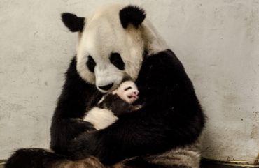 Baby P: 2 kilos et demi de bonheur pour Pairi Daiza