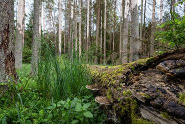 La forêt de Bialowieza, dernière forêt primaire d'Europe