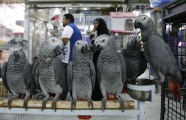 Perroquets gris africains sur un marché du Koweit
