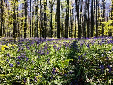 Le tapis de jacinthes au Bois de Hal, c'est ce week-end