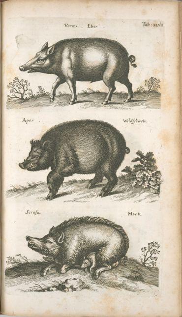 le cochon dans l'histoire