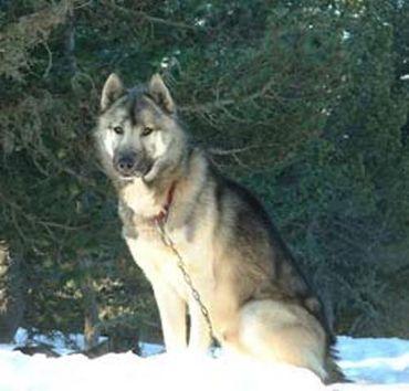 le qimmiq, entre chien et loup