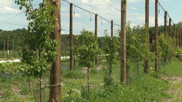 Sur les fils tendus entre les poteaux s'étendent un large choix d'arbres fruitiers