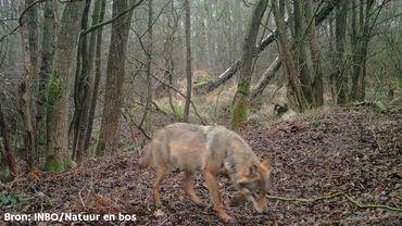 Premières images de la louve Noëlla en plein jour.