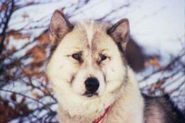 trop beau le chien esquimau