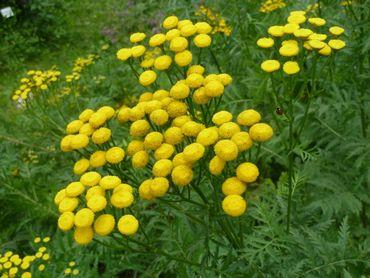 Déjà bien connue pour ses vertus médicinales, la tanaisie est également un insecticide naturel puissant