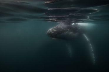 La réponse de la baleine à bosse