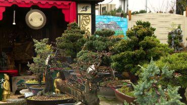Francis Kessel réalise des bonsaïssur base d'espèces orientales mais aussi à l'aide d'arbres de chez nous !