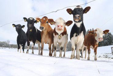 Vaches dans la neige, dans le sud de l'Allemagne