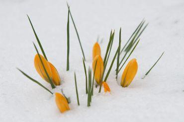 Crocus recouvert par la neige, à Altenberg, dans l'est de l'Allemagne