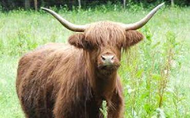 Vaches Highland