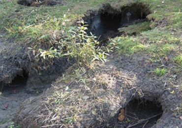 Le ragondin creuse de grands trous dans les berges qui s'effondrent.