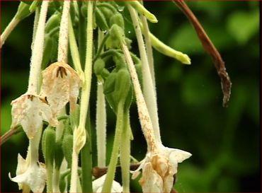 Fleur tubulaire blanc ivoire