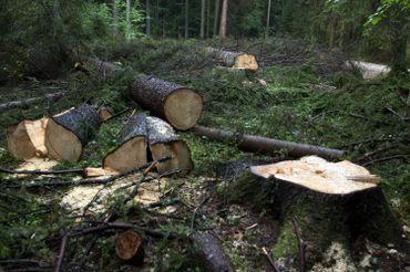L'exploitation forestière dans les bois de Bialowieza