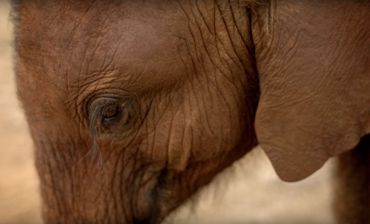 La merveilleuse histoire de l'éléphanteau Ndotto refait surface sur Twitter (vidéo). L'effet de la solitude sur le moral du jeune animal est facile à percevoir