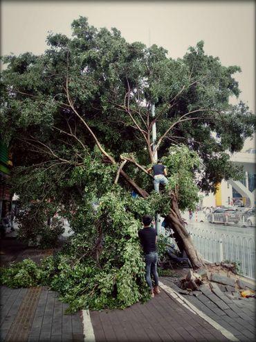 Un arbre arraché à Guangzhou