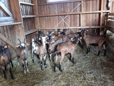 Plusieurs séjours dans le Massif du Jura, ont suffi à Virginie Bayard pour littéralement tomber amoureuse de ces jolies brunettes et se constituer un petit cheptel de chèvres Alpines de Core.