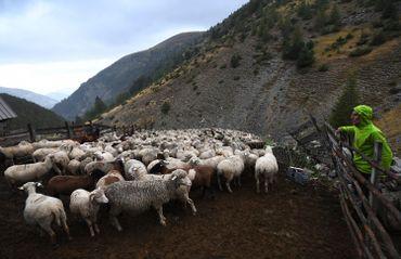 Un berger protège son troupeau des prédateurs, dans les Alpes françaises (27/09/17)