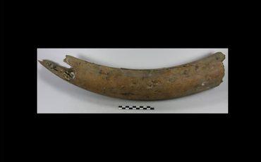 Le fragment de défense de mammouth découvert à Schaerbeek.