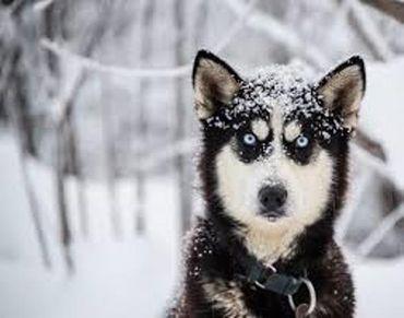 Alaskan Husky, quels beaux yeux