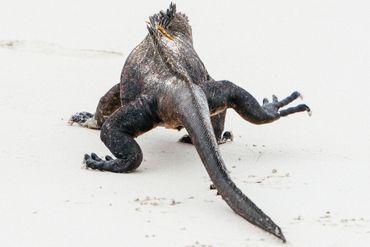 Iguanes, tortues, lions de mer,... les animaux sont rois sur les Îles Galápagos.