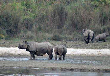Rhinocéros à une corne, au Népal