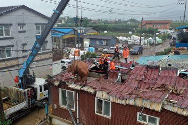 Opération de sauvetage de vaches en Corée du Sud
