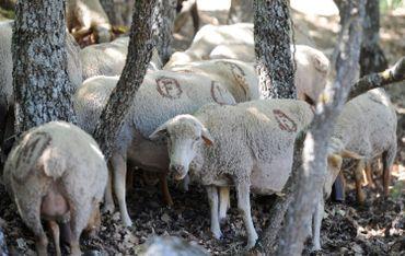 Check Point: Bergers et protection animale: la France doit-elle crier au loup?