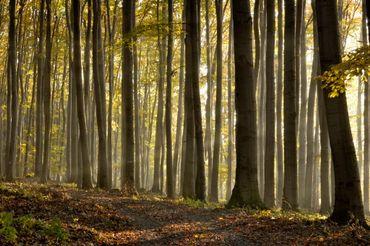 La hêtraie est le climax de nos forêts... Mais ces arbres laissent peu de place à une végétation herbacée, à cause de l'ombre de leur présence.