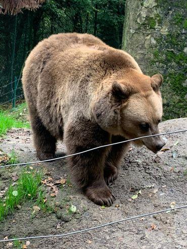 L'ourse Julia, star de cinéma, en retraite à l'Arche. Elle a tourné des films « Belles et Sébastien 2 » et des téléfilms « Joséphine ange gardien