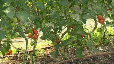 Les tomates installées sous une structure qui va soutenir les plantes