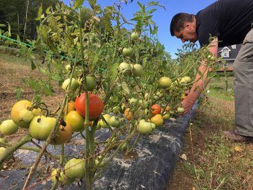 Pascal cultive six variétés de tomates différentes sur un hectare. Toute la récolte se fait à la main.