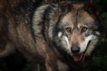 Loup gris en captivité dans le Parc de Courzieu, en octobre 2015