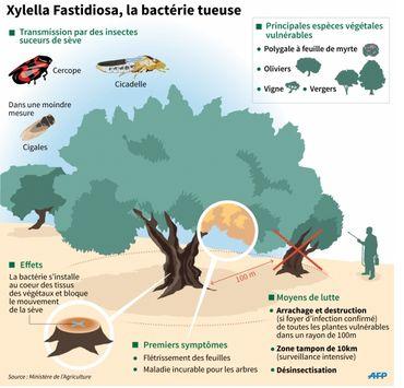 Schéma explicatif de la bactérie Xylellas Fastidiosa