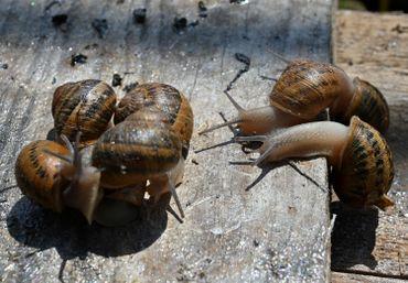 Escargots ukrainiens
