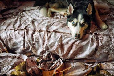 Un husky, chien des neiges