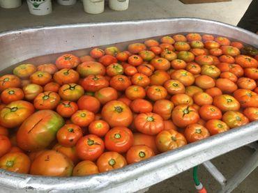 Une fois récoltées, les tomates sont lavées pour enlever toute impureté.